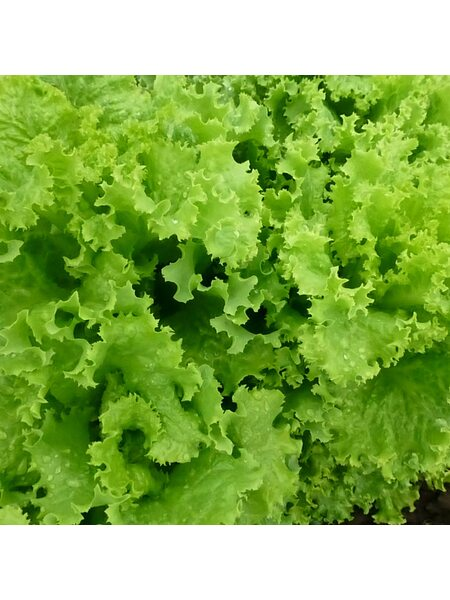 KS 129 - Семена салата, Kitano 5 грамм.