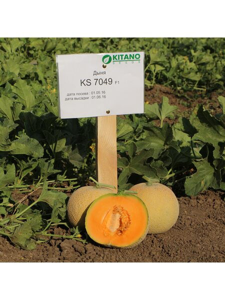 KS 7049 F1 - Семена Дыни, Kitano 100 семян.