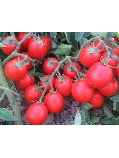 Albarossa F1 - Семена детерминантного томата, Cora Seeds, 1000 семян