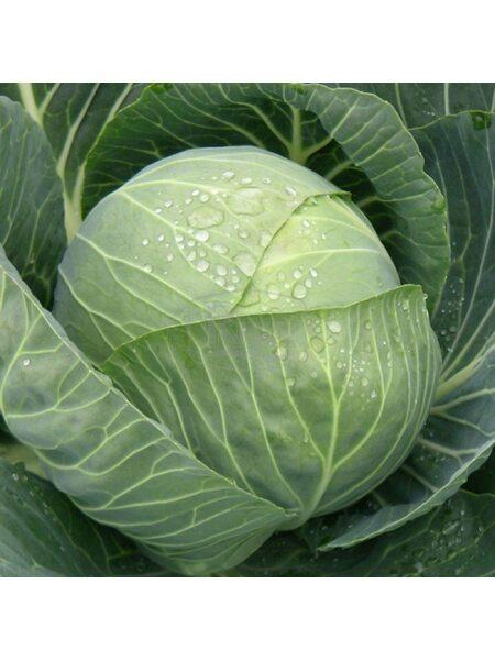 Bagration F1 (CRX 16093) - Семена капусты белокочанной, Cora Seeds, 500