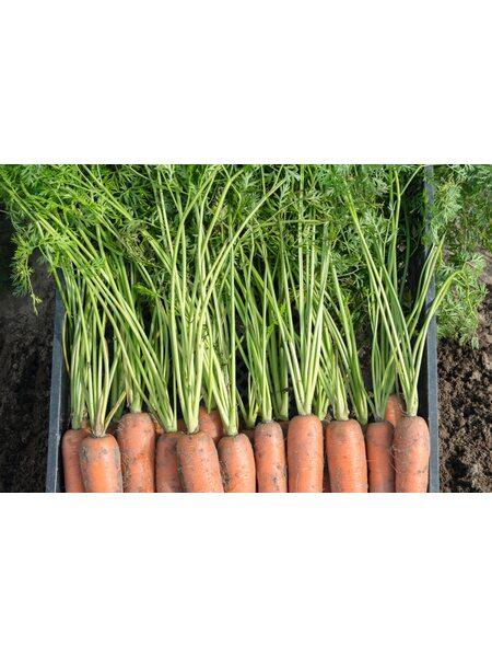 Бермуда F1/Bermuda F1 (1,6-1,8 мм) - Семена моркови BEJO, 1 млн. семян