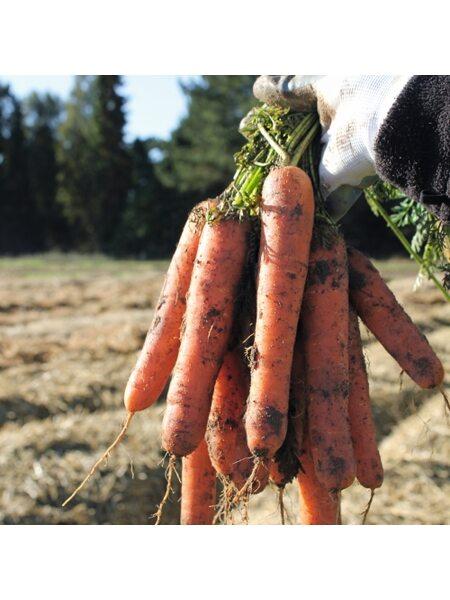Натуна F1/ Natuna F1 (2,0-2,2 мм) - Семена моркови BEJO, 1 млн. семян