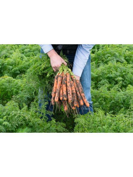 Нерак F1/ Nerac F1 (1,6-1,8 мм) - Семена моркови BEJO, 1 млн. семян