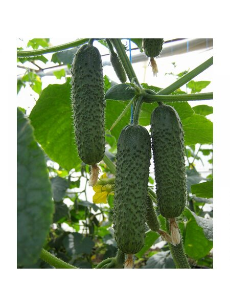 Аристан F1 / Aristan F1 - Семена партенокарпического огурца BEJO, 250 семян
