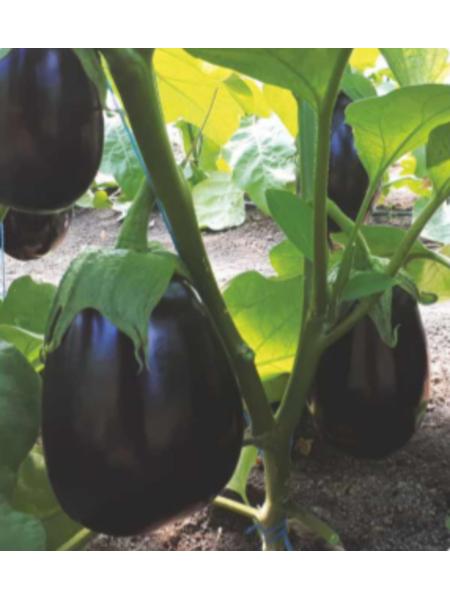 Sara F1 - Семена баклажан, Cora Seeds, 500 семян
