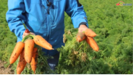 Сравнение новинок моркови 7381 и 6070 с гибридом Abaco от компании Seminis