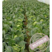 Глобус F1 (Globus F1) Семена ранней капусты (48-53 дня) от фирмы Royal Sluise (2500 семян)