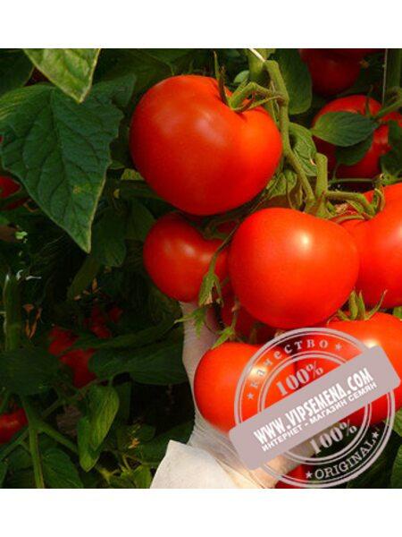 Корвинус F1 (Corvinus F1) семена томата полудет. красного Seminis, оригинальная упаковка (1000 семян)