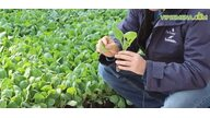 Подготовка рассады ранней капусты к высадке