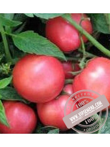 Пинк Свитнес F1 (Pink Svitnes F1) семена томата детерминантного Lark Seeds, оригинальная упаковка (500 семян)