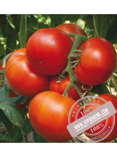 Панекра F1 (Panekra F1) семена томата индетерминантного Syngenta, оригинальная упаковка (500 семян)