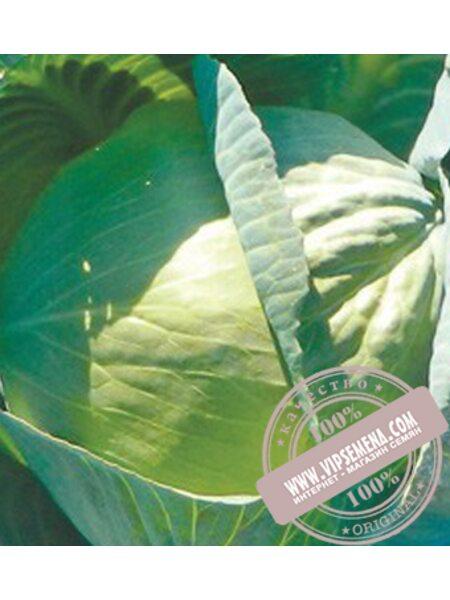 Сторидор F1 (Storidor F1) семена капусты белокочанной поздней Syngenta, оригинальная упаковка (2500 семян)