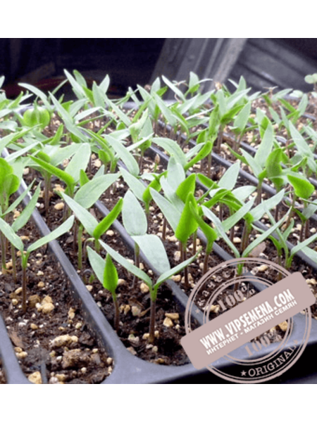 Абей F1 (Abyei F1) семена перца сладкого кубовидного Enza Zaden, оригинальная упаковка (500 семян)