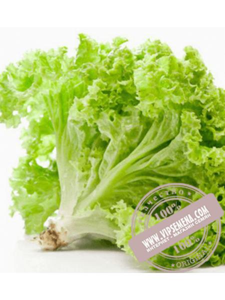 Афицион (Aficion) семена салата листового типа Батавия Rijk Zwaan, оригинальная упаковка (1000 семян драже)