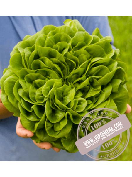 Аквино (Aquino) семена салата маслянистого типа Саланова Rijk Zwaan, оригинальная упаковка (1000 семян драже)