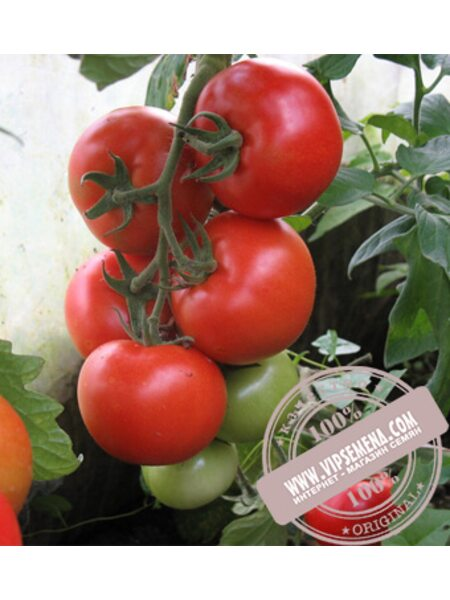 Алинди 811 F1 (Alindi F1) семена томата индетерминантного для пленочных теплиц Enza Zaden, оригинальная упаковка (500 семян)