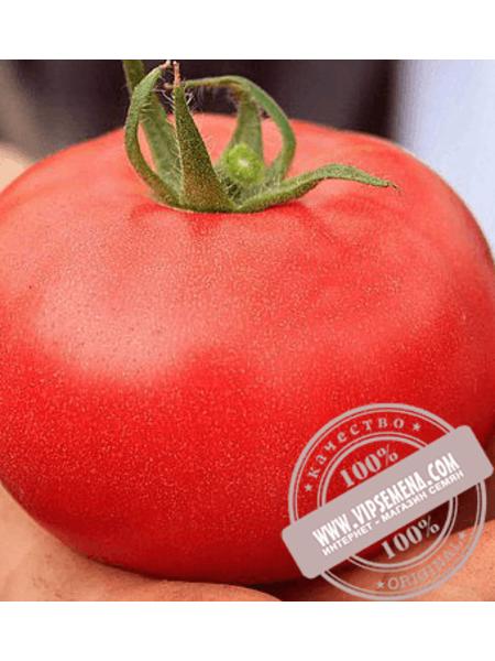 Аманета F1 (Amaneta F1) семена томата индетерминантного для пленочных теплиц Enza Zaden, оригинальная упаковка (250 семян) АКЦИЯ
