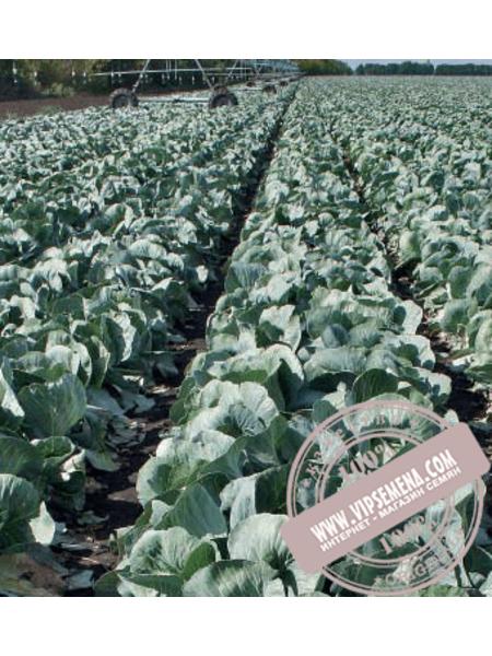 Анкома F1 (Ancoma F1) семена капусты белокочанной Rijk Zwaan, оригинальная упаковка (1000 семян)