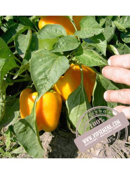 Бачата F1 (Bachata F1) семена перца сладкого Кубовидного типа Rijk Zwaan, оригинальная упаковка (100 семян)
