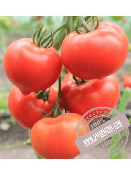 Белфорт F1 (Belfort F1) семена томата индетерминантного для пленочных теплиц Enza Zaden, оригинальная упаковка (500 семян)