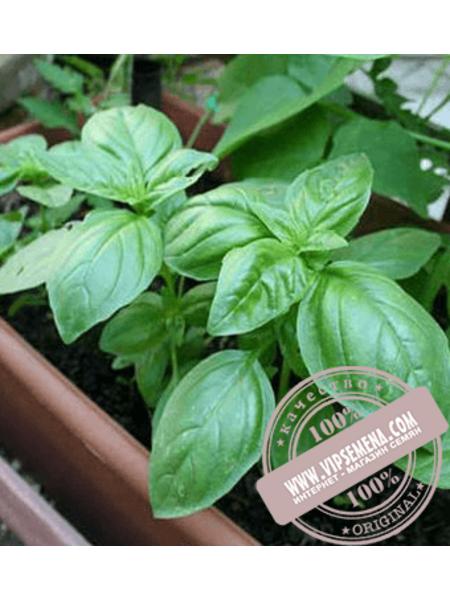 Эдвина (Edvina) семена базилика Enza Zaden, оригинальная упаковка (1000 грамм)