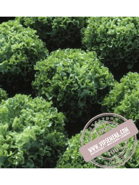 Фристина (Fristina) семена салата типа Фризе Hazera, оригинальная упаковка (5 грамм)