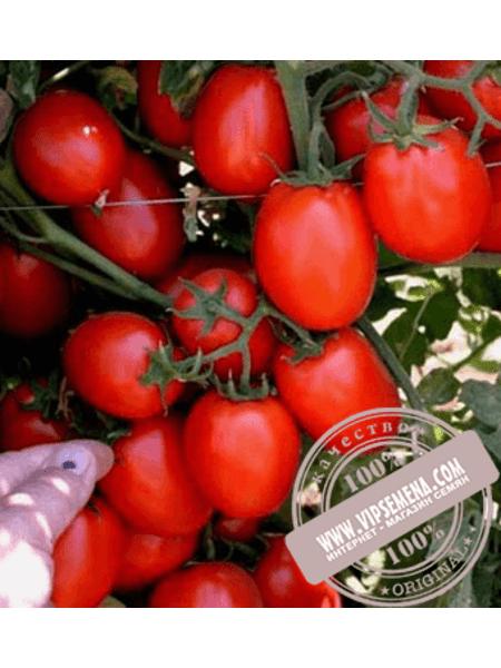 Галилея F1 (Galilea F1) семена томата детерминантного сливовидного Hazera, оригинальная упаковка (1000 семян)