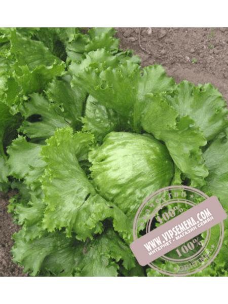 Глобист (Globist) семена салата типа Айсберг Enza Zaden,оригинальная упаковка (5000 семян)