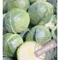 Компасс F1 ( Глоуб Мастер F1/ Globe Master F1) семена белокочанной капусты Takii Seeds , оригинальная упаковка (10 г)