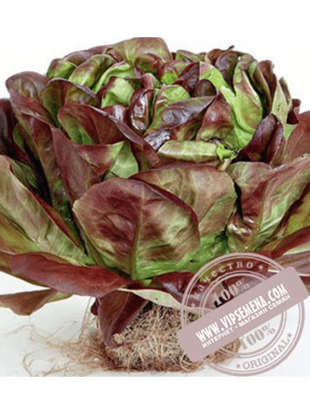 Гоген (Gaugin) семена салата маслянистого типа Саланова Rijk Zwaan, оригинальная упаковка (1000 семян драже)