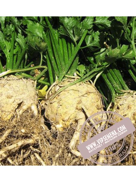 Голиаф (Goliaf) семена сельдерея корнеплодного Enza Zaden, оригинальная упаковка (500 семян)