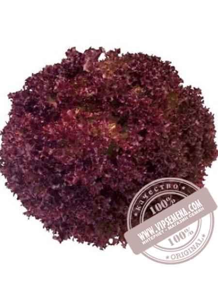 Илема (Ilema) семена салата типа Лолло Бионда Enza Zaden,оригинальная упаковка (5000 семян)