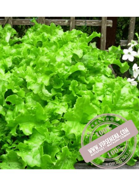 Кайпира (Kaipira) семена салата типа Батавия Enza Zaden,оригинальная упаковка (5000 семян)