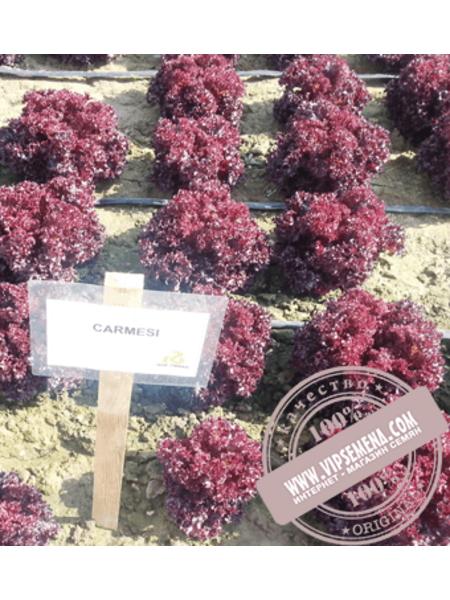 Кармези (Carmesi) семена салата полукочанного типа Лолла Росса Rijk Zwaan, оригинальная упаковка (1000 семян драже)