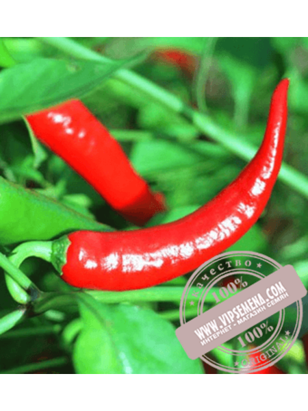 Хайфи F1 (Hayfi F1) семена перца горького Enza Zaden, оригинальная упаковка (500 семян)