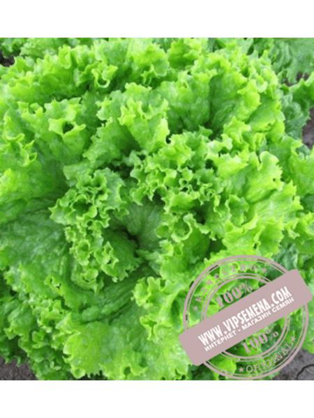 Кисми (Kismi) семена салата типа Батавия Enza Zaden,оригинальная упаковка (5000 семян)
