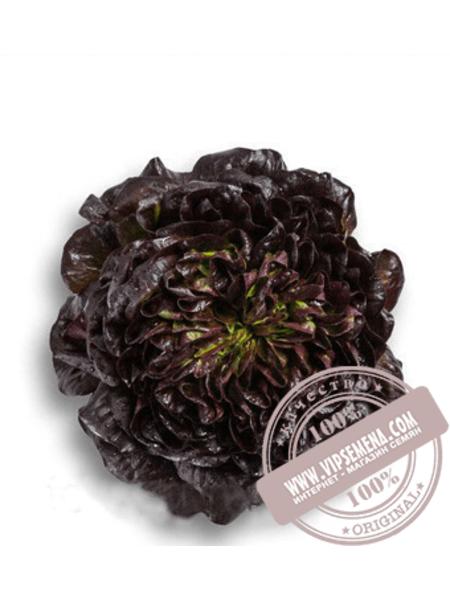 Кли (Klee) семена салата маслянистого типа Саланова Rijk Zwaan, оригинальная упаковка (1000 семян драже)
