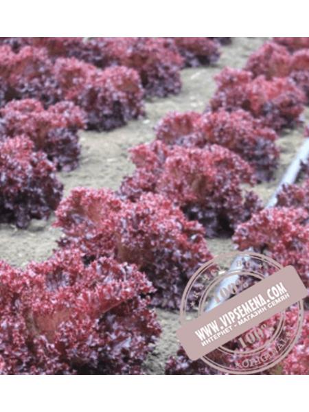 Лея (Leya) семена салата типа Лолло Росса Enza Zaden,оригинальная упаковка (5000 семян)