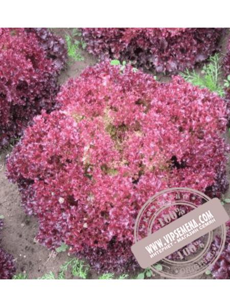 Либи (Libi) семена салата типа Лолла Росса Hazera, оригинальная упаковка (1000 семян)