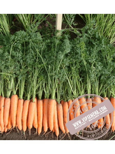Олимпо F1 (Olimpo F1) семена моркови типа Шантане Vilmorin, оригинальная упаковка (100000 семян)