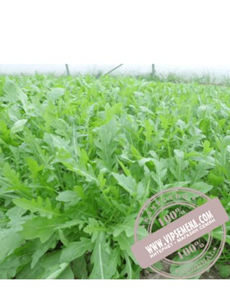 Парманс (Parmans)  семена салата типа Эндивий Enza Zaden,оригинальная упаковка (5000 семян)