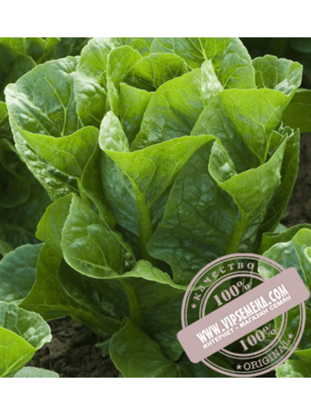 Рафаел (Rafael) семена салата типа мини Ромен Rijk Zwaan, оригинальная упаковка (1000 семян драже)