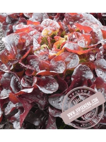 Руксай (Rouxai) семена салата Дуболистного типа Rijk Zwaan, оригинальная упаковка (1000 семян драже)