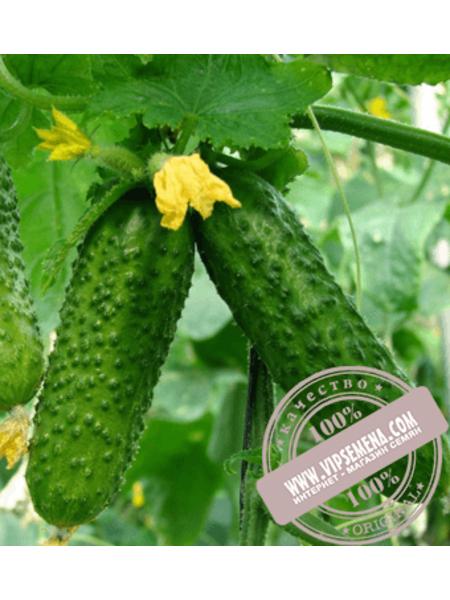 Шакти F1 (Shakthi F1) семена огурца-корнишона партенокарпического Rijk Zwaan, оригинальная упаковка (250 семян)