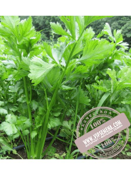 Сиенна F1 (Sienna F1) семена сельдерея стеблевого Enza Zaden, оригинальная упаковка (1000 семян)