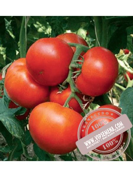 Уманья F1 (Umanga F1)семена томата индетерминантного Rijk Zwaan, оригинальная упаковка (100 семян)