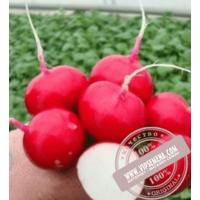 Валери F1 (Valeri F1)  семена редиски Rijk Zwaan, оригинальная упаковка (25000. семян, калиброванные Ǿ 3.00-3.25)