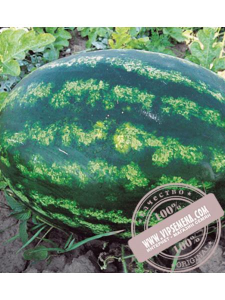 Варда F1 (Varda F1) семена арбуза типа Кримсон Свит Hazera, оригинальная упаковка (1000 семян)