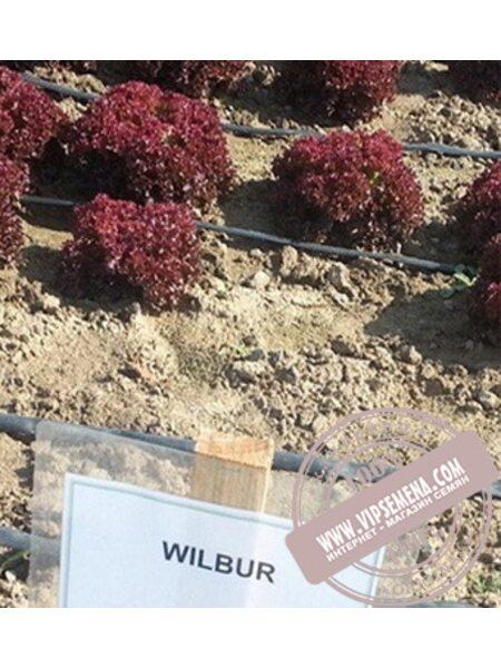 Вилбур (Wilbur) семена салата полукочанного типа Лолла Росса Rijk Zwaan, оригинальная упаковка (1000 семян драже)