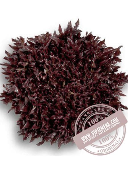 Винтекс (Wintex) семена салата листового типа Саланова Rijk Zwaan, оригинальная упаковка (1000 семян драже)